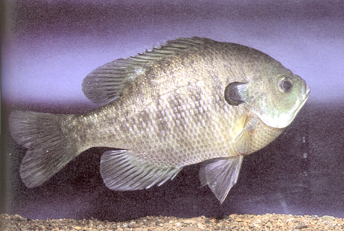 Fishes Of Minnesota Bluegill